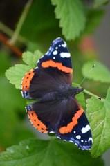 Schmetterling Admiral - Insekten, Schmetterling, Falter, Tagfalter, Edelfalter, Fleckenfalter, Vanessa atalanta, Nymphalidae