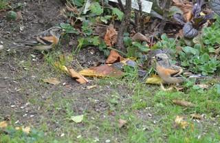 Bergfinken - Vogel, Vögel, Sperlingsvögel, Singvögel, Finken, Edelfinken, Fringilla montifringilla