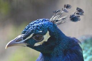 Pfau - Pfau, Vogel, Hühnervögel, Fasanenartige, Asiatische Pfauen, blau, Pavo cristatus