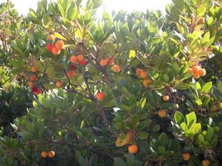 Erdbeerbaum#2 - Erdbeerbaum, Frucht, Heidekrautgewächs, Schnaps, Konfitüre
