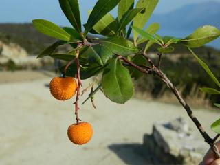 Erdbeerbaum#1 - Erdbeerbaum, Frucht, Heidekrautgewächs, Schnaps, Konfitüre