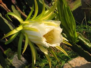 Drachenfrucht2_Blüte - Geografie, Vietnam, Biologie, Pflanzen, Drachenfrucht, Pitahaya, Pitaya, Kakteen, pinkfarbene Schale, Frucht