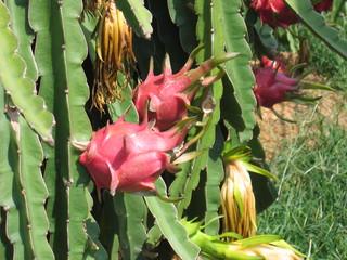Drachenfrucht5_reif - Geografie, Vietnam, Biologie, Pflanzen, Drachenfrucht, Pitahaya, Pitaya, Kakteen, pinkfarbene Schale, Frucht