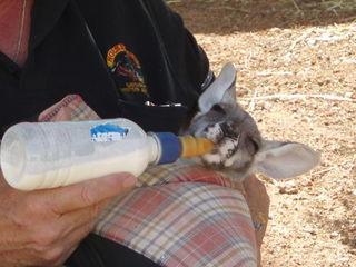 Känguru-Fütterung#1 - Känguru, Känguruh, Australien, Outback, Waise, Tierschutz