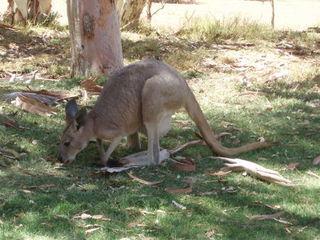 Känguru - Känguru, Känguruh, Australische Tiere