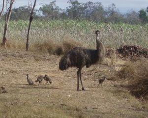 Emu mit Küken - Emu, Küken, Australische Tiere