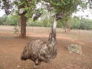 Emu - Australien, Emu, Australische Tiere, Outback