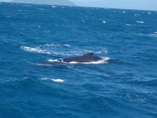 Buckelwal - Buckelwal, Australien, whale watching, Wal, Meeressäuger, Furchenwal, Säugetier