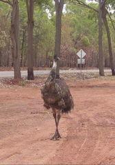 Emu  - Emu, Australien, Outback, Australische Tiere