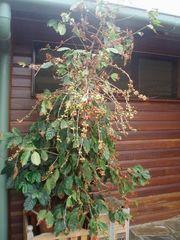 Kaffeebaum/Coffee Tree - Kaffee, Kaffeebaum, Kaffeeplantage, Plantage, Australien