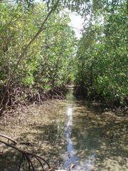 Mangroven 2 - Mangroven, Ökosystem, Australien