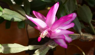 Weihnachtskaktus #1 - Schlumbergera, Zimmerpflanze, Kaktus, Gliederkakteen, zweikeinmlättrig, Blüte, geöffnet, Sprossglieder