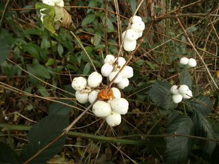 Schneebeere - Schneebeere, Geißblattgewächs, Frucht, Steinfrucht, Hecke, Zierpflanze, Knallerbse, Knallbeere