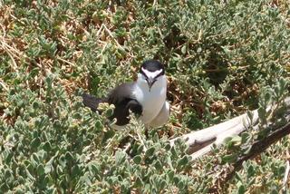 Crested Tern/Eilseeschwalbe - Australien, Vogel, Schwalbe, Eilseeschwalbe, Crested Tern, Australische Tiere
