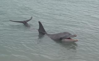 Delfin (Bottlenose Dolphin) 1 - Delfin, Bottlenose Dolphin, Australien, Meeressäuger, Zahnwal, Wal, Säugetier, Meeressäuger