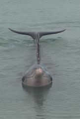 Delfin (Bottlenose Dolphin) 2 - Delfin, Bottlenose Dolphin, Australien, Meeressäuger, Zahnwal, Wal, Säugetier, Meeressäuger