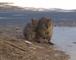 Quokka mit Jungem - Australien, Quokka, Kurzschwanzkänguru, Känguru, Känguruh, Beuteltier