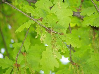 Blühende Eiche - Blütenstand, blühen, Eiche, Laubbaum, Baum, Frühling, zart, Blatt, Blätter, grün, Ast, Blüte