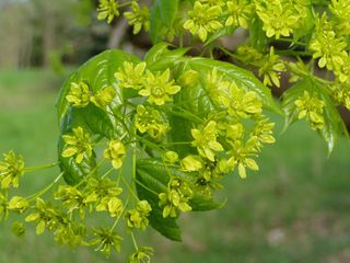 Blüten des Feld-Ahorn - Frühling, Ahorn, Blüte, Baum, Laubbaum, Blüten, zart, grün
