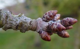 Kirschbaum - Triebe im Januar - Kirsche, Kirschbaum, Trieb, Austrieb, Knospe, Knospen
