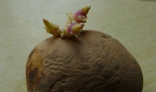 Kartoffeltrieb #2 - Kartoffel, Kartoffeltrieb, violett, lila, Austrieb, Trieb, Spross, sprießen, austreiben, Erdapfel, Grummbeere, Nachtschatten, Nachtschattengewächs, Nutzpflanze, Solanum tuberosum, Grundnahrungsmittel