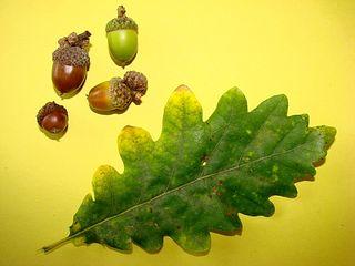 Blatt und Frucht der Stieleiche - Blatt, Frucht, Eiche, Stieleiche, Herbst, gebuchtet, Eichel, Hut, braun, grün, Laubbaum, Wald, gelappt, einhäusig