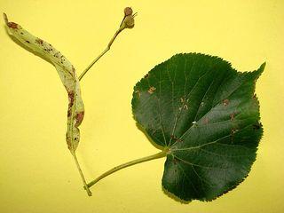 Blatt und Frucht der Winterlinde - Blatt, Frucht, Herbst, Linde, Winterlinde, gesägt, herzförmig, Wald, Allee, behaart, Bienenweide, Geruch, Duft, Laubbaum