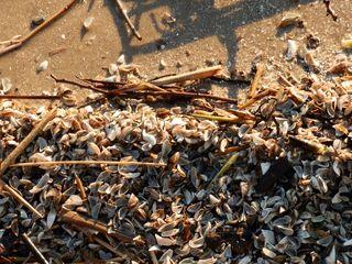 Muscheln - Muscheln, Hülle, Sand, Natur, Muschel, zerbrochen, geöffnet