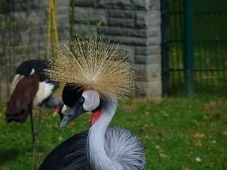 Kronenkranich - Tierpark, Kranich, Kronenkranich, Gefieder, Kopfschmuck, Kopf, Schmuck, Wappentier, Uganda, Federkrone