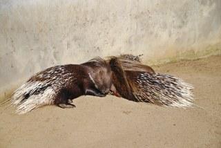 Stachelschweine - Stachelschwein, Tier, Nagetier, Säugetier, nagen, Stacheln, nachtaktiv, Borsten, schlafen, Zoo, Zootier, Tierpark