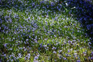 Blütenteppich - Blüten, Blüte, Scilla mischtschenkoana, Blaustern, Blausterne, Mischtschenko-Blaustern, Kaukasisches Blausternchen, Scilla tubergeniana, Blütenteppich, Frühblüher, Blütenmeer
