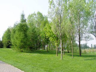 Verschiedene Baumarten im Frühling - Laubbaum, Nadelbaum, Birke, Kastanie, Pappel, Baumarten, Frühjahr, bestimmen, zartgrün, Arten, Artenkenntnis, Bäume