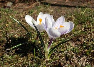 zwei Krokusse - Frühling, Krokus, Krokusse, Frühjahr, winterhart, Frühblüher, Blüten, Blumen, Schwertliliengewächse, Iridaceae, Staubgefäß, Blütenblatt, lila, weiß, Pflanze