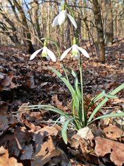 Schneeglöckchen - Schneeglöckchen, Frühling, Frühjahr, Blüte, blühen, Blüten Frühblüher, Zwiebelgewächs, weiß