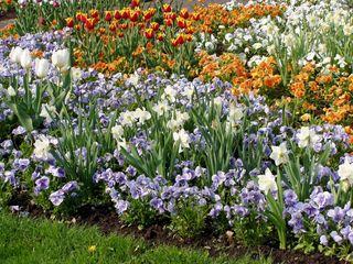 Frühblüher  - Frühling, Frühblüher, Stiefmütterchen, Narzissen, Tulpen, Narzisse, Tulpe, bunt, Blumenbeet, Zwiebel, Blumenzwiebel, viele, Beet, Blumenbeet