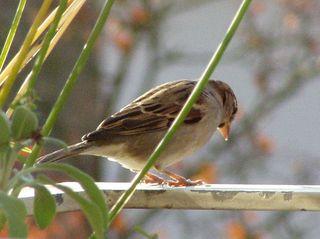 Grünfink - Grünfink, Vogel, Standvogel, Sperlingsvogel, Park, Waldrand, Gehölz
