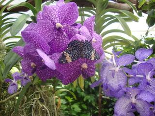 Schmetterling - Schmetterling, Blume, Orchidee, Insel, Mainau