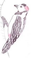 Specht bunt - Natur, Tier, Vogel, Waldtier, Waldvogel, hämmern, klopfen, Specht, Buntspecht, Standvogel, Vogelhäuschen, Anlaut Sp, Stützschwanz