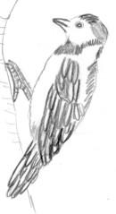 Specht schwarz-weiß - Natur, Tier, Vogel, Waldtier, Waldvogel, Specht, Buntspecht, hämmern, Standvogel, Stützschwanz, Klammerfuß, Wald, klopfen