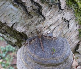 Schnake - Schnake, Tipulidae, Zweiflügler, Bachmücke, Pferdemücke, Elefantenmücke, Langbeinmücke, Stelzmücke, Mücke, Tipula Maxima