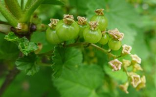 Johannisbeeere - Johannisbeere, Obst, Frucht, Ribes, Ribisel, Träuble, Meertrübeli, Stachelbeergewächs, Beerenobst, Strauch, unreif