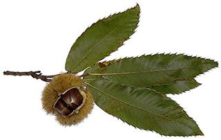 Edelkastanie oder Esskastanie - Edelkastanie, Esskastanie, Maroni, Marone, Blatt, Blätter, Frucht, Fruchtschale, Kastanie, essen, Nahrung, Herbst
