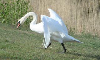 Schwan beim Angriff #1 - Schwan, Wasser, Schwäne, Wasservogel, Höckerschwan, Schnabel, weiß, Wasser, fliegen, Angriff