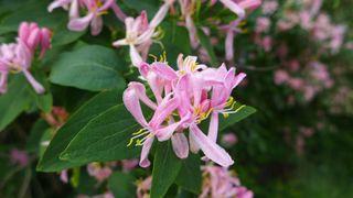 Geißblatt - Echtes Geißblatt, caprifolium, Jelängerjelieber, Gartengeißblatt, wohlriechendes Geißblatt, Kletterpflanze, Zierpflanze, Gartenpflanze
