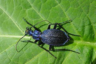 Dunkelblauer Laufkäfer - Laufkäfer, Carabus intricatus, Käfer, Deckflügel, Längsrippung, krabbeln, schillern, glänzen, blau, Fühler, Insekt