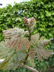 Weintraubentrieb - Wein, Traube, grün, Wein, Weinrebe, Rebe, Landwirtschaft, Weinbau, Trauben, Weintrauben