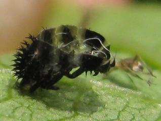 Entwicklungsstadien Marienkäfer - Insekten, Marienkäfer, Larve, häuten