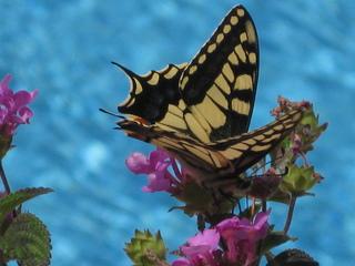 Schwalbenschwanz - Insekt, Schmetterling, Körperteile, Flügel, Fühler, Rüssel, Schwalbenschwanz, Falter