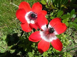 Kronen-Anemone - Frühblüher, Hahnenfußgewächs, Frühling, Blüte, Anemone, Zierpflanze, Steingarten, Schnittblume
