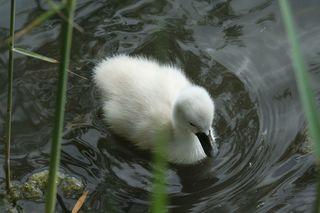 Schwan #1 - schwimmen, Schwan, Wasser, Schwäne, Wasservogel, Höckerschwan, Reflexion, glitzern, Schnabel, weiß, Jungschwan